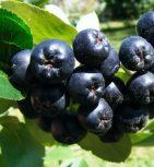 Fekete berkenye, cseresznye, meggy