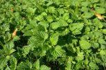 Gyógynövények, fűszernövények
